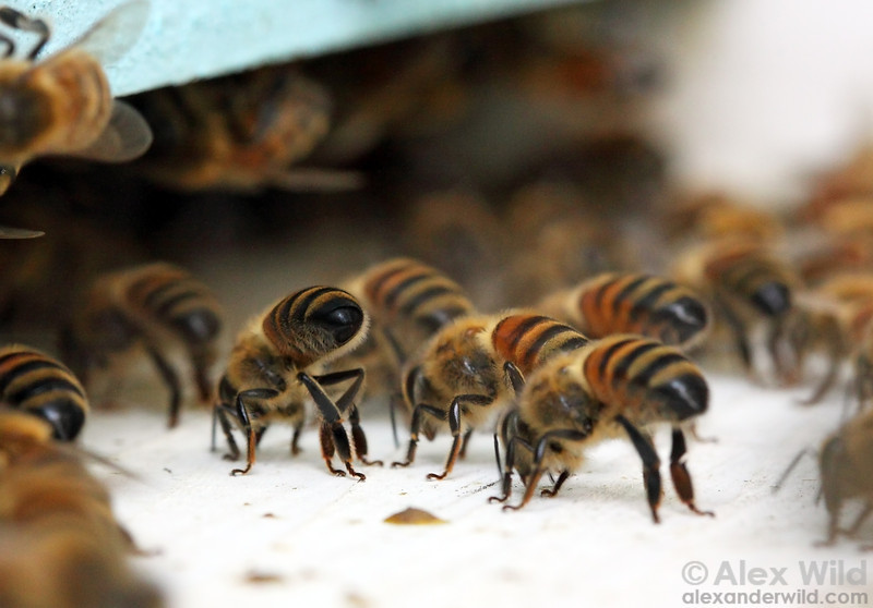 A photo of honey bees fanning at the entrance of the colony. They perform this behavior to cool their colony down. Photo by Alex Wild.