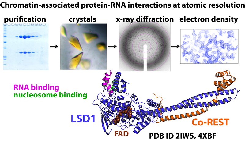 Chromatin protein-RNA interactions
