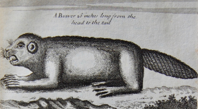 Engraving of a North American Beaver